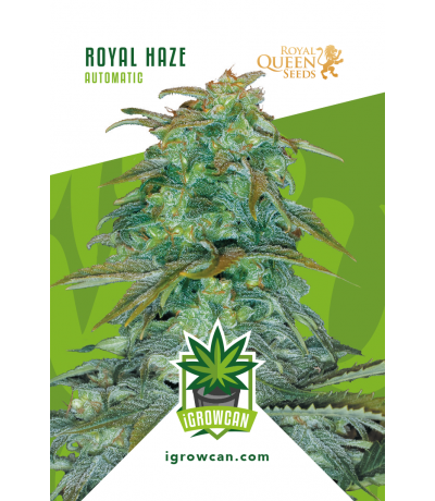 I grow can – Royal Haze Automatic